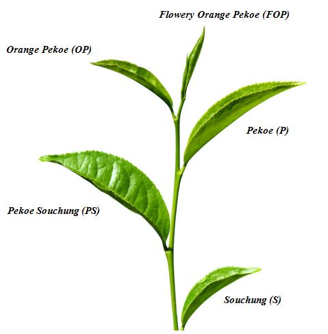 liść herbaciany