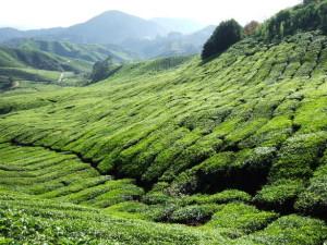 teafield